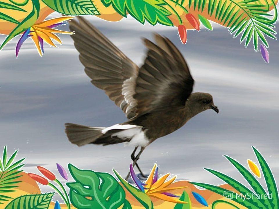 Самый многочисленный вид – качурки Вильсона. Это небольшая, размером с ласточку птица, длина ее тела 15-19 см, размах ее крыльев - 40 см. Другое ее название – океан ник Вильсона. Численность – 1 млн.
