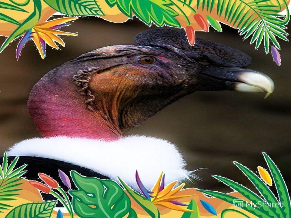 Самая крупная птица – андский кондор Самцы в среднем весят 9-12 кг при размахе крыльев 3 м и более (до 5 м). могут даже с высоты в 7.000 м разглядеть на земле тело павшего животного.