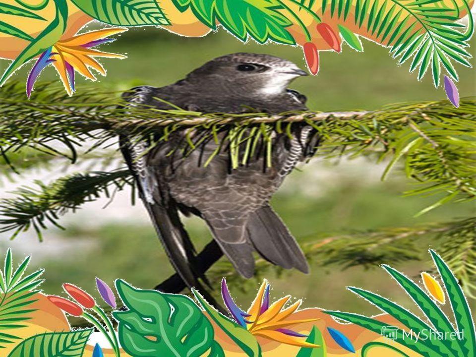 Самая летающая птица - чёрный стриж длина тела 18-21 см, размах крыльев 38-42 см, масса 30-45 г. находиться в воздухе 2-4 года в течение всего этого времени он спит, пьет, ест на лету. пролетает 500000 км прежде, чем впервые приземлиться.