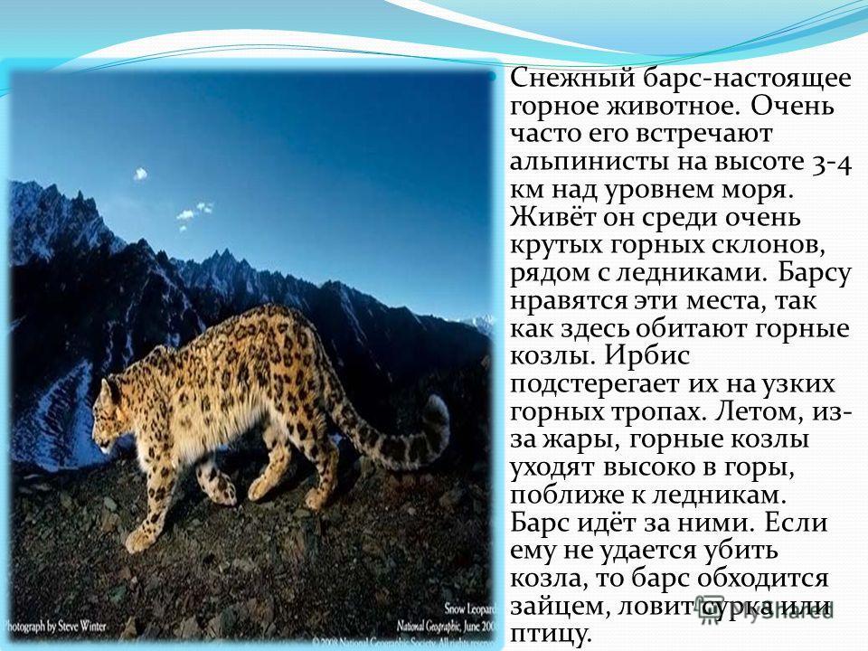 Снежный барс-настоящее горное животное. Очень часто его встречают альпинисты на высоте 3-4 км над уровнем моря. Живёт он среди очень крутых горных склонов, рядом с ледниками. Барсу нравятся эти места, так как здесь обитают горные козлы. Ирбис подстер