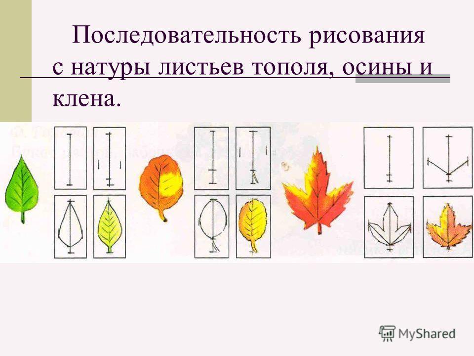 Последовательность рисования с натуры листьев тополя, осины и клена.