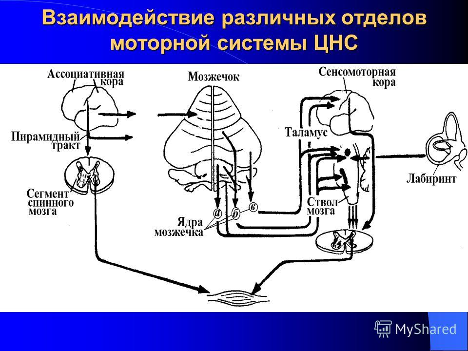 Взаимодействие различных отделов моторной системы ЦНС