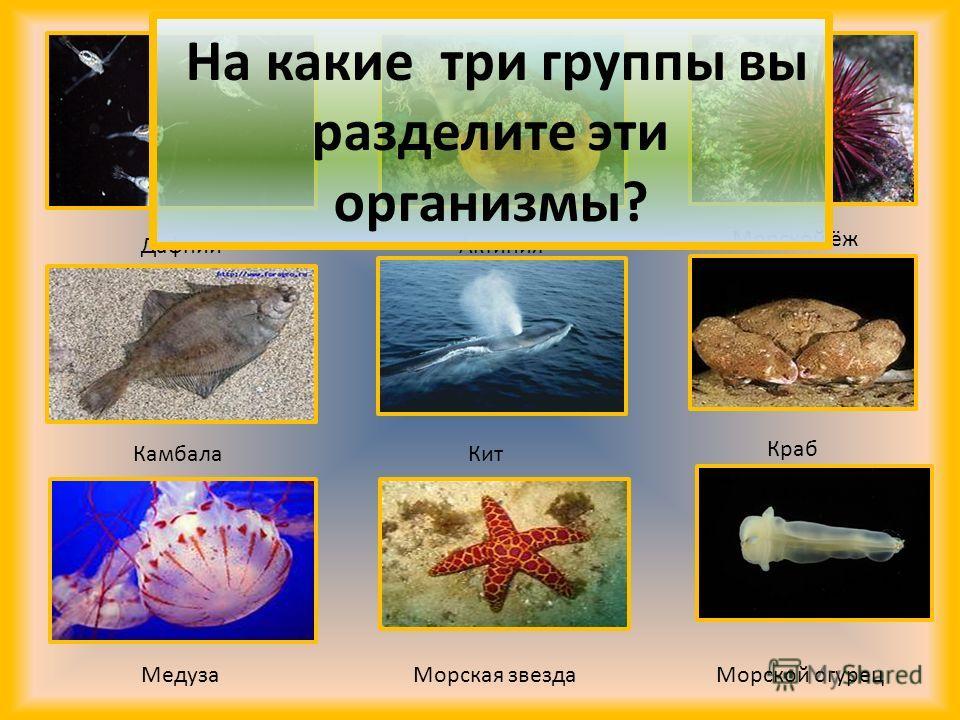 Дафнии Актиния Морской ёж Камбала Кит Краб Медуза Морская звезда Морской огурец На какие три группы вы разделите эти организмы?