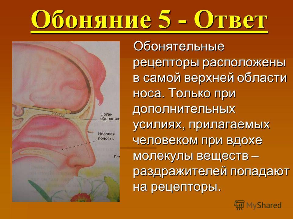 Обоняние 5 - Ответ Обоняние 5 - Ответ Обонятельные рецепторы расположены в самой верхней области носа. Только при дополнительных усилиях, прилагаемых человеком при вдохе молекулы веществ – раздражителей попадают на рецепторы.