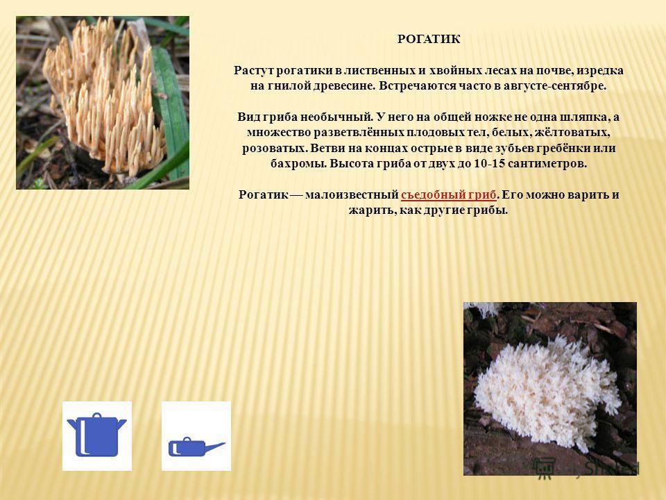 РОГАТИК Растут рогатики в лиственных и хвойных лесах на почве, изредка на гнилой древесине. Встречаются часто в августе-сентябре. Вид гриба необычный. У него на общей ножке не одна шляпка, а множество разветвлённых плодовых тел, белых, жёлтоватых, ро