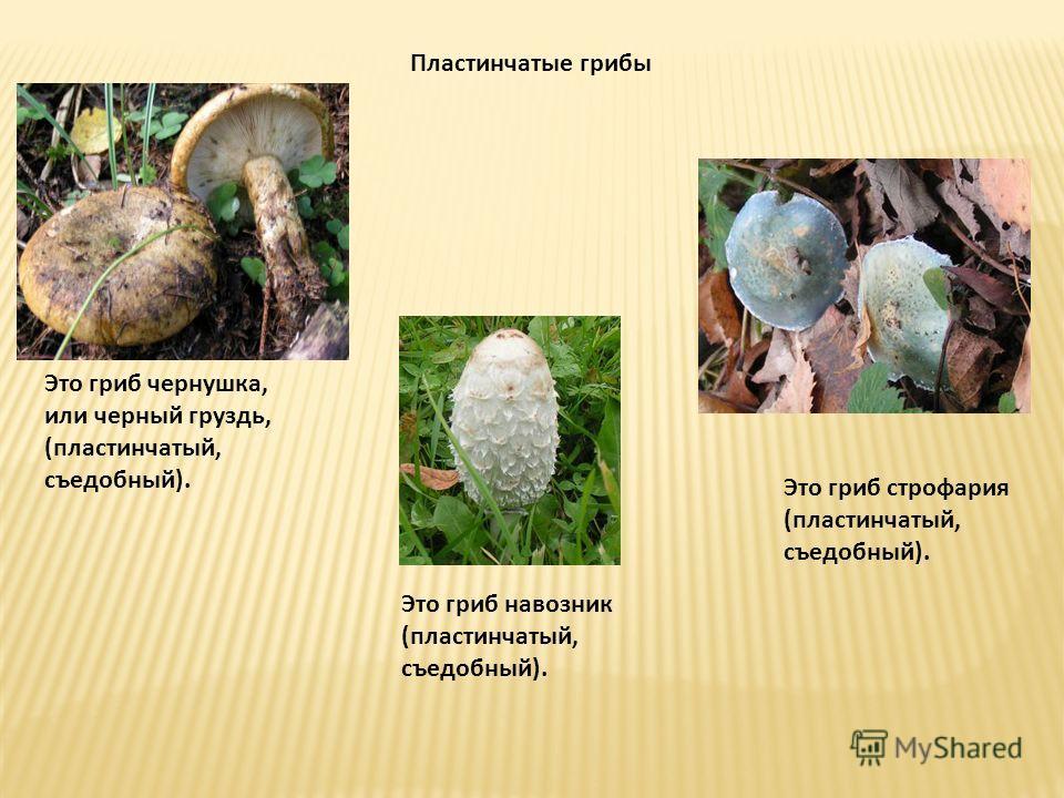 Пластинчатые грибы Это гриб чернушка, или черный груздь, (пластинчатый, съедобный). Это гриб навозник (пластинчатый, съедобный). Это гриб строфария (пластинчатый, съедобный).