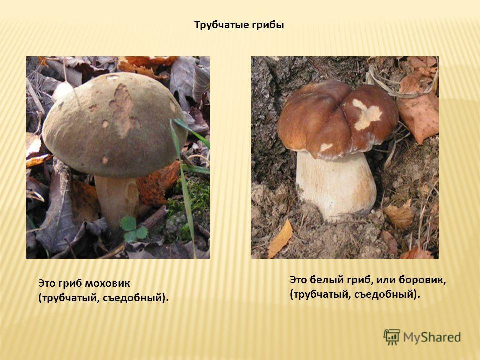 Трубчатые грибы Это гриб моховик (трубчатый, съедобный). Это белый гриб, или боровик, (трубчатый, съедобный).