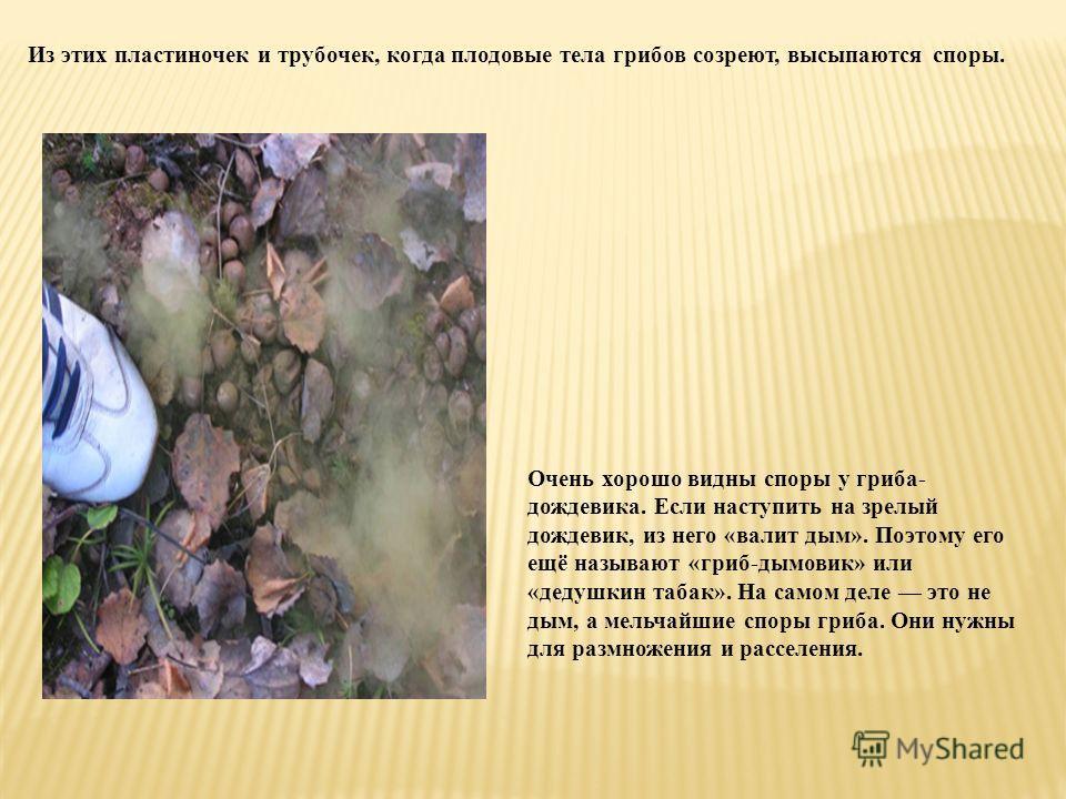 Из этих пластиночек и трубочек, когда плодовые тела грибов созреют, высыпаются споры. Очень хорошо видны споры у гриба- дождевика. Если наступить на зрелый дождевик, из него «валит дым». Поэтому его ещё называют «гриб-дымовик» или «дедушкин табак». Н