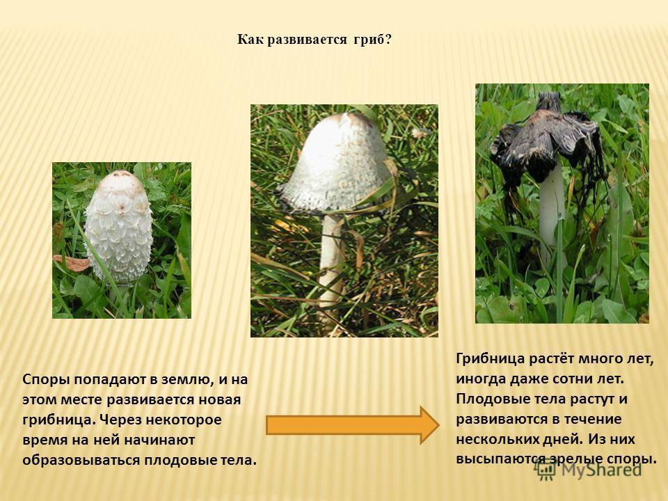 Как развивается гриб? Споры попадают в землю, и на этом месте развивается новая грибница. Через некоторое время на ней начинают образовываться плодовые тела. Грибница растёт много лет, иногда даже сотни лет. Плодовые тела растут и развиваются в течен