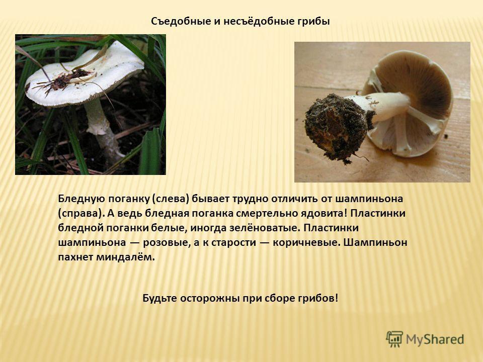Съедобные и несъёдобные грибы Бледную поганку (слева) бывает трудно отличить от шампиньона (справа). А ведь бледная поганка смертельно ядовита! Пластинки бледной поганки белые, иногда зелёноватые. Пластинки шампиньона розовые, а к старости коричневые