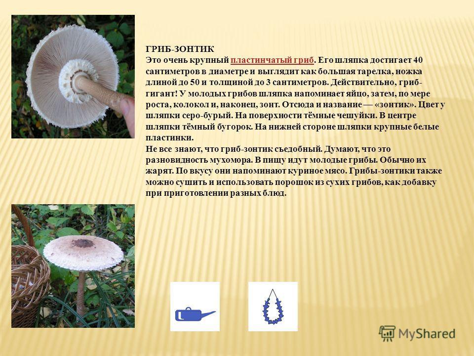 ГРИБ-ЗОНТИК Это очень крупный пластинчатый гриб. Его шляпка достигает 40 сантиметров в диаметре и выглядит как большая тарелка, ножка длиной до 50 и толщиной до 3 сантиметров. Действительно, гриб- гигант! У молодых грибов шляпка напоминает яйцо, зате