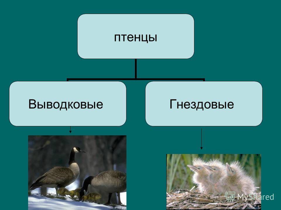 птенцы Выводковые Гнездовые