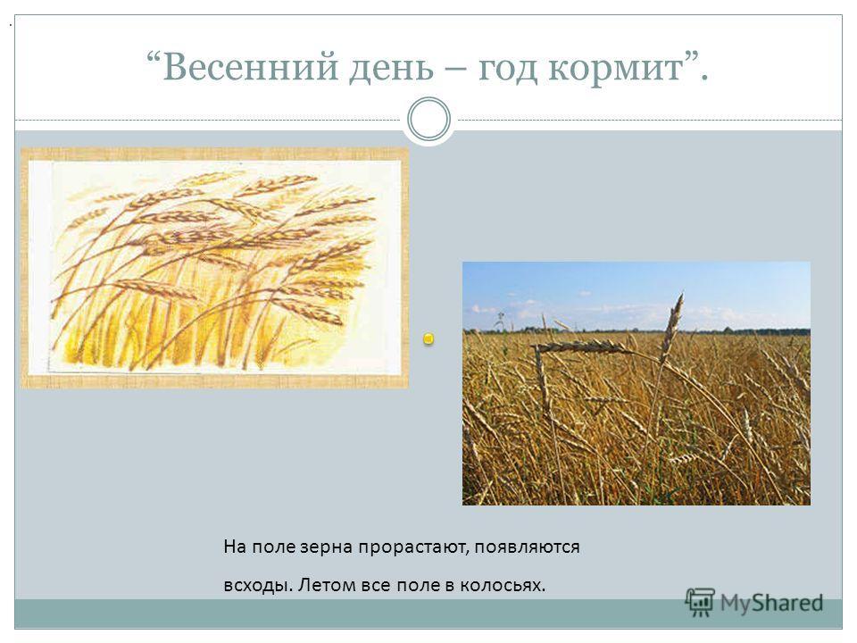 Весенний день – год кормит.. На поле зерна прорастают, появляются всходы. Летом все поле в колосьях.