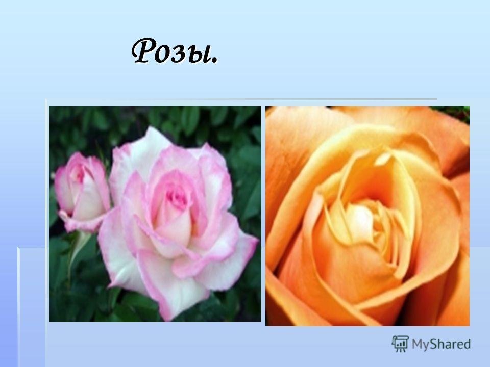 Розы. Розы.