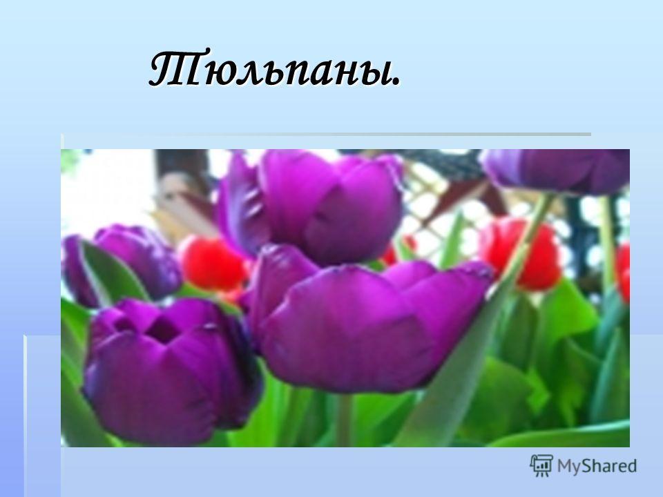 Тюльпаны. Тюльпаны.