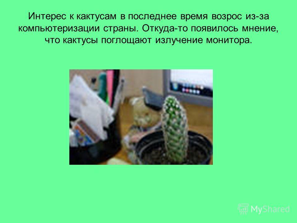 Интерес к кактусам в последнее время возрос из-за компьютеризации страны. Откуда-то появилось мнение, что кактусы поглощают излучение монитора.