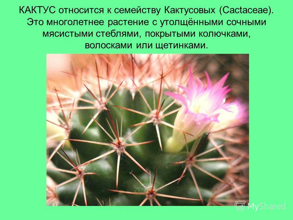 КАКТУС относится к семейству Кактусовых (Cactaceae). Это многолетнее растение c утолщёнными сочными мясистыми стеблями, покрытыми колючками, волосками или щетинками.
