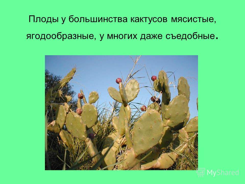 Плоды у большинства кактусов мясистые, ягодообразные, у многих даже съедобные.