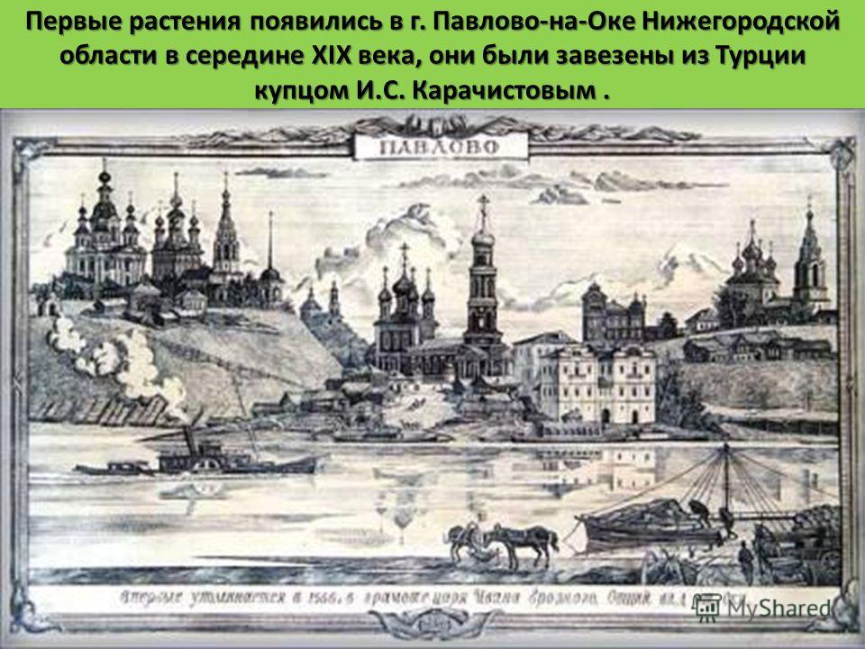 Первые растения появились в г. Павлово - на - Оке Нижегородской области в середине XIX века, они были завезены из Турции купцом И. С. Карачистовым.