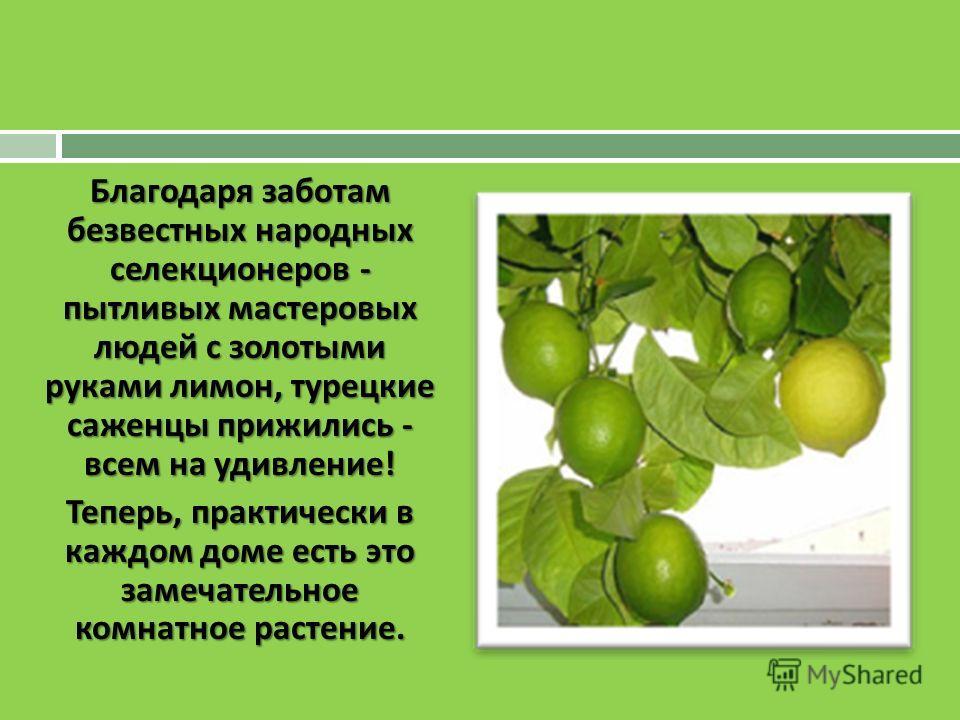 Благодаря заботам безвестных народных селекционеров - пытливых мастеровых людей с золотыми руками лимон, турецкие саженцы прижились - всем на удивление ! Теперь, практически в каждом доме есть это замечательное комнатное растение.