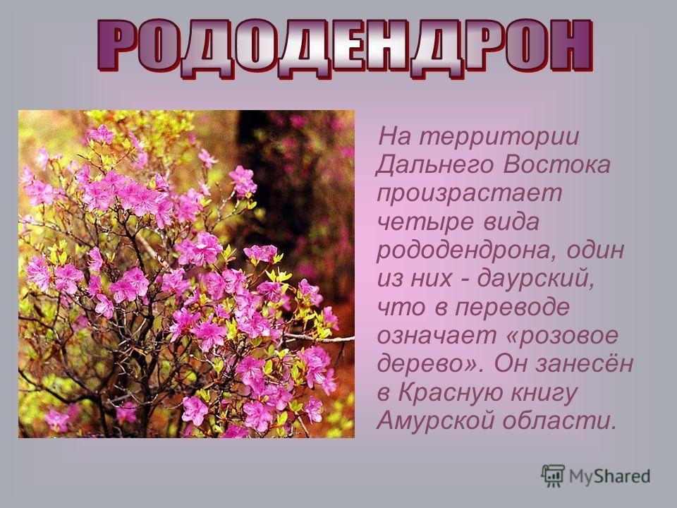 На территории Дальнего Востока произрастает четыре вида рододендрона, один из них - даурский, что в переводе означает «розовое дерево». Он занесён в Красную книгу Амурской области.
