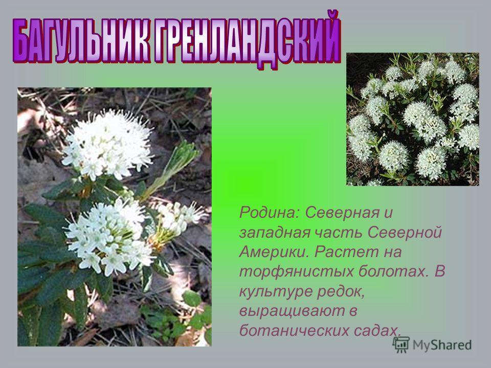 Родина: Северная и западная часть Северной Америки. Растет на торфянистых болотах. В культуре редок, выращивают в ботанических садах.