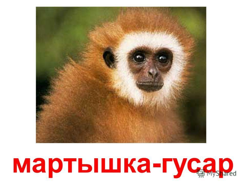 мартышка Диана