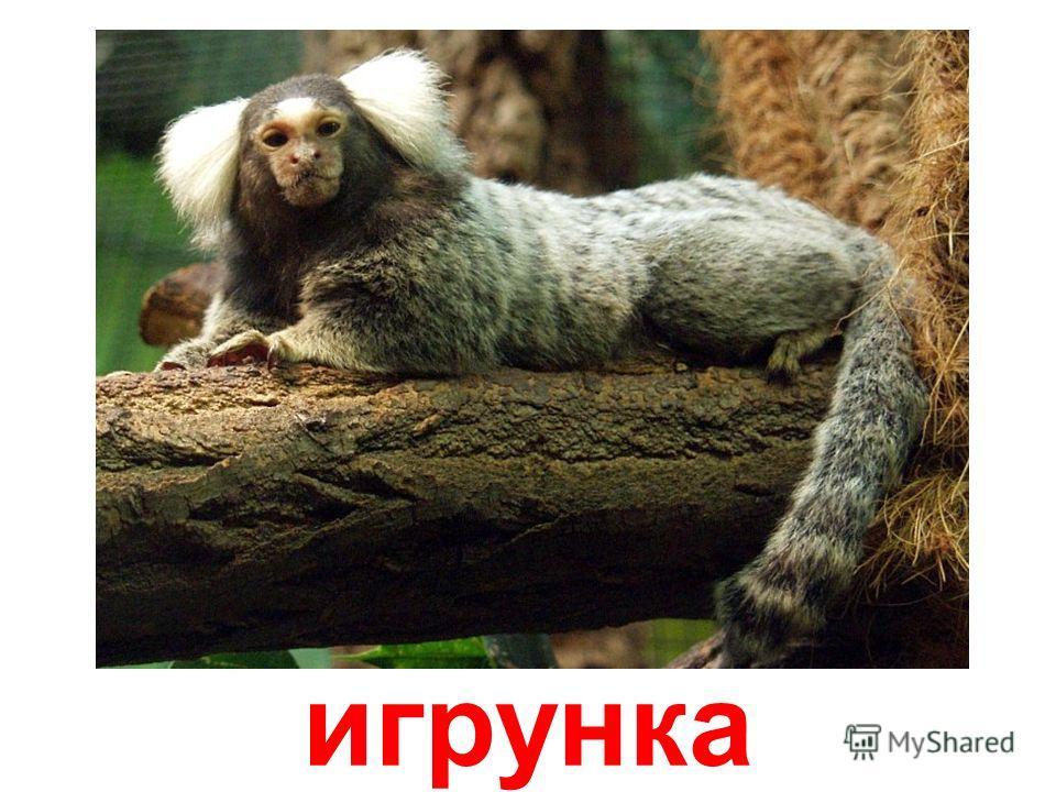 мартышка-гусар