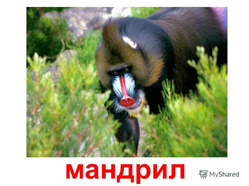 человекообразная обезьяна