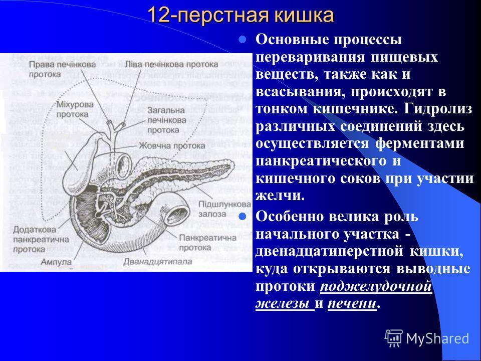 12-перстная кишка Основные процессы переваривания пищевых веществ, также как и всасывания, происходят в тонком кишечнике. Гидролиз различных соединений здесь осуществляется ферментами панкреатического и кишечного соков при участии желчи. Особенно вел