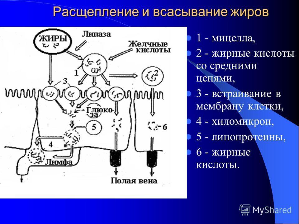 Расщепление и всасывание жиров 1 - мицелла, 2 - жирные кислоты со средними цепями, 3 - встраивание в мембрану клетки, 4 - хиломикрон, 5 - липопротеины, 6 - жирные кислоты.