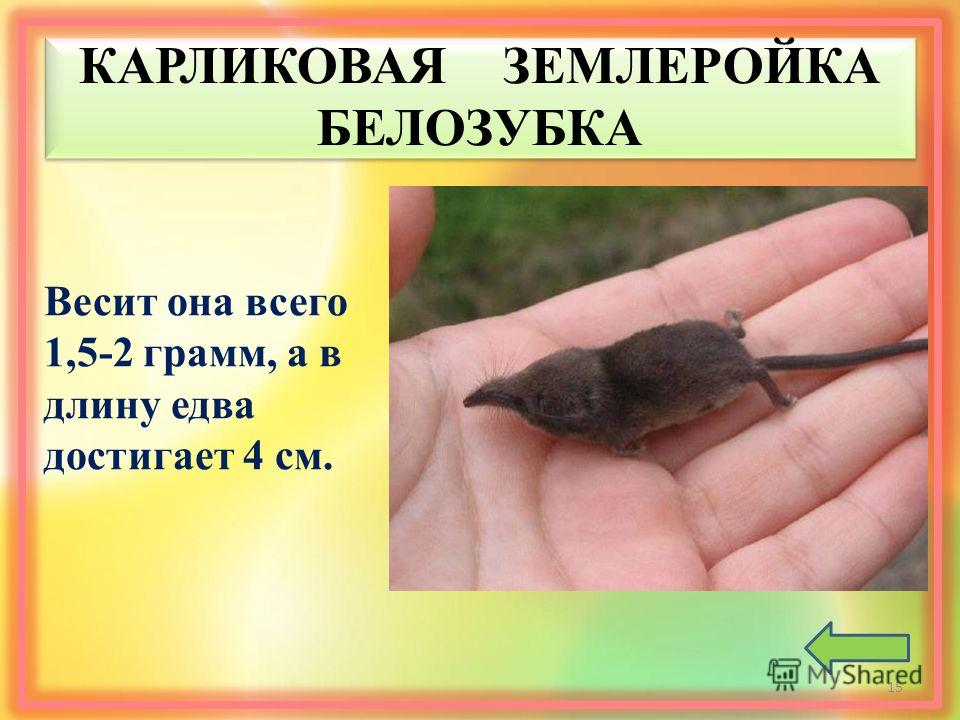 КАРЛИКОВАЯ ЗЕМЛЕРОЙКА БЕЛОЗУБКА Весит она всего 1,5-2 грамм, а в длину едва достигает 4 см. 15