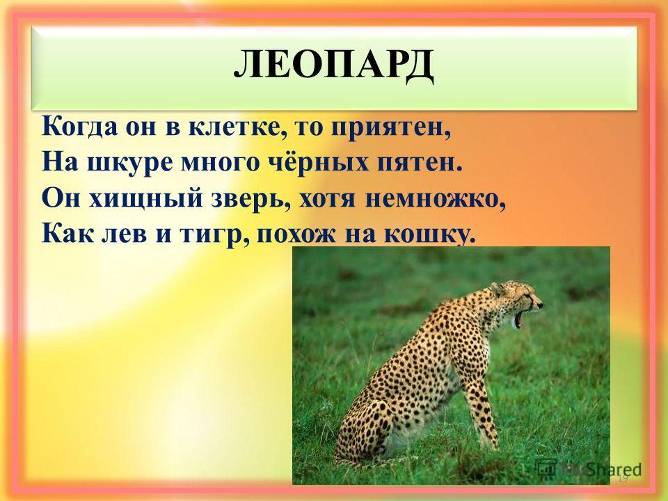 ЛЕОПАРД Когда он в клетке, то приятен, На шкуре много чёрных пятен. Он хищный зверь, хотя немножко, Как лев и тигр, похож на кошку. 19