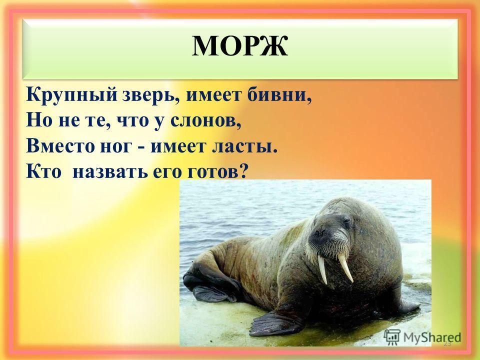 МОРЖ Крупный зверь, имеет бивни, Но не те, что у слонов, Вместо ног - имеет ласты. Кто назвать его готов? 23