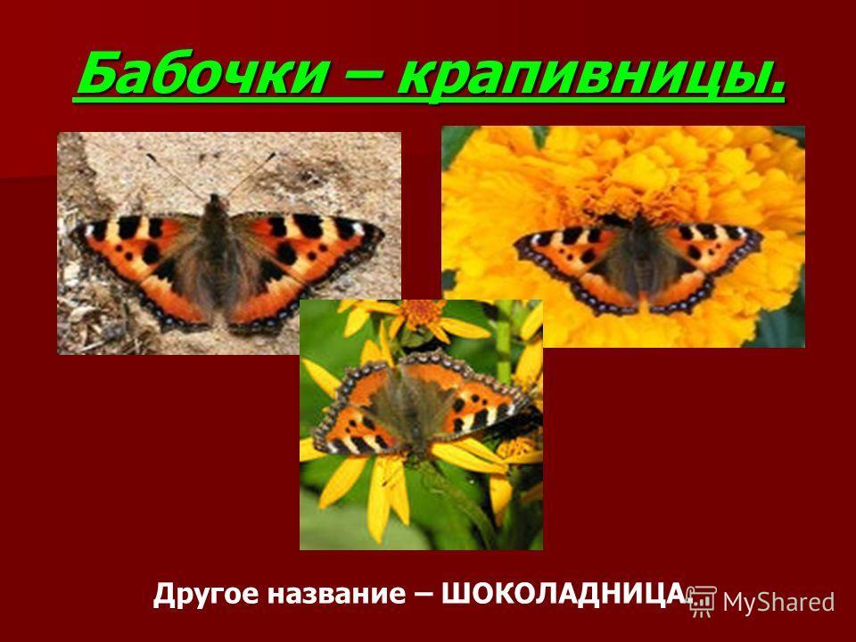 Бабочки – крапивницы. Другое название – ШОКОЛАДНИЦА.