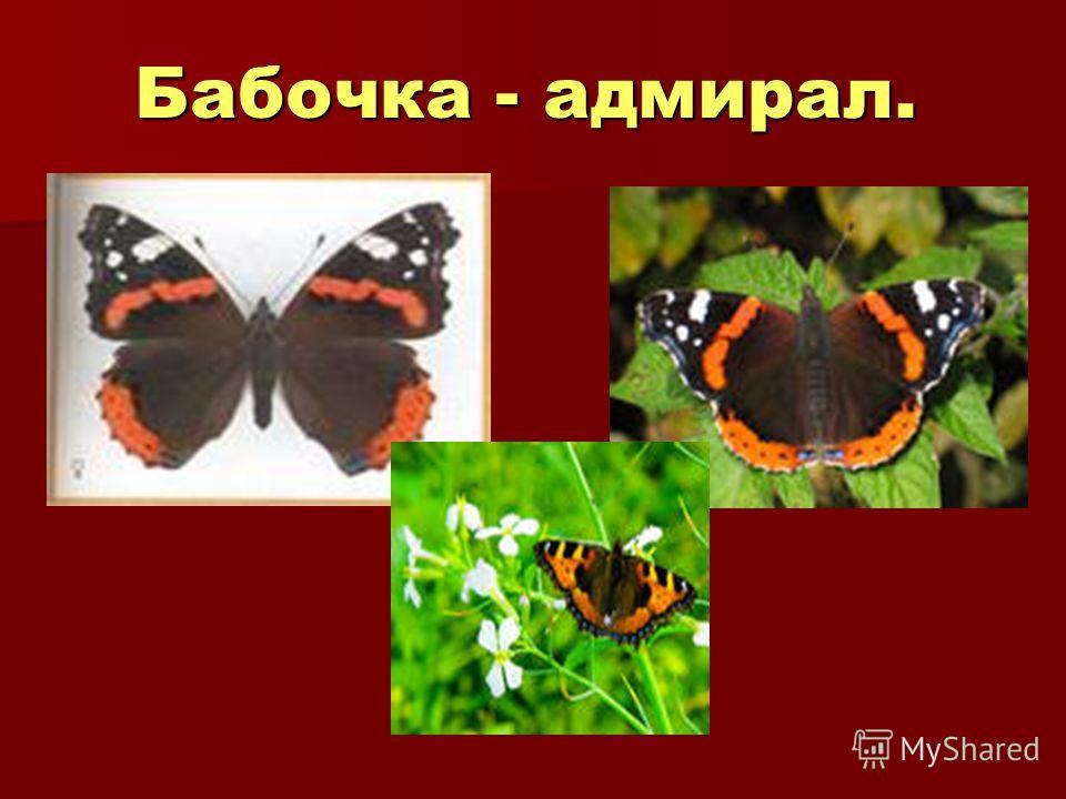 Бабочка - адмирал.