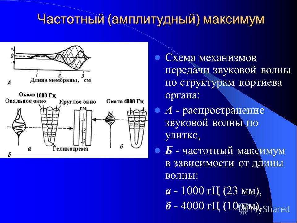 Частотный (амплитудный) максимум Схема механизмов передачи звуковой волны по структурам кортиева органа: А - распространение звуковой волны по улитке, Б - частотный максимум в зависимости от длины волны: а - 1000 гЦ (23 мм), б - 4000 гЦ (10 мм).