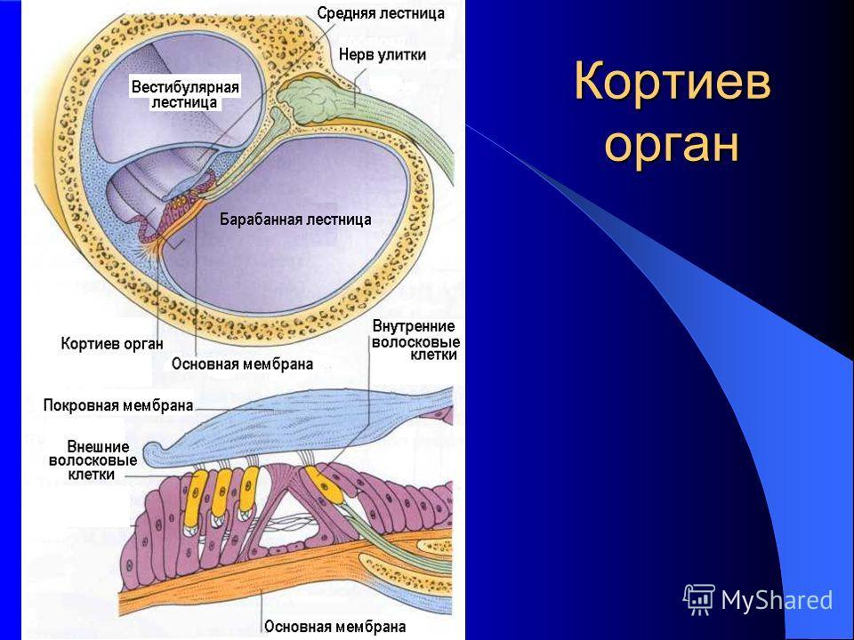 Кортиев орган