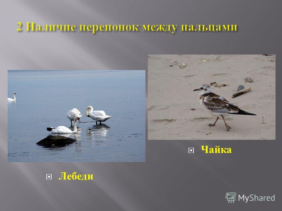 2 Наличие перепонок между пальцами Лебеди Чайка