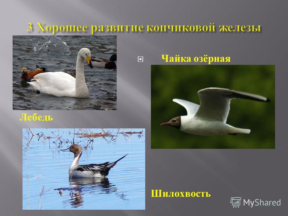 Лебедь Чайка озёрная Шилохвость