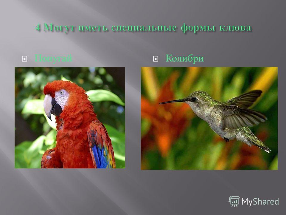 Попугай Колибри