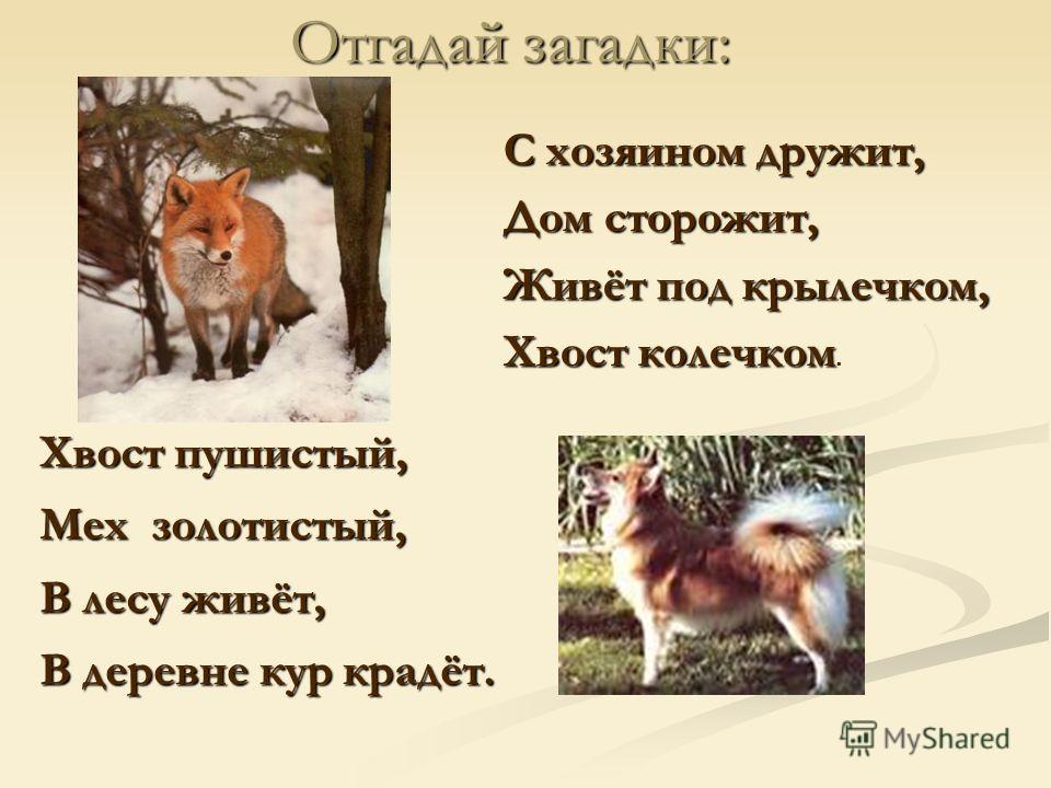 С хозяином дружит, Дом сторожит, Живёт под крылечком, Хвост колечком Хвост колечком. Отгадай загадки: Хвост пушистый, Мех золотистый, В лесу живёт, В деревне кур крадёт.