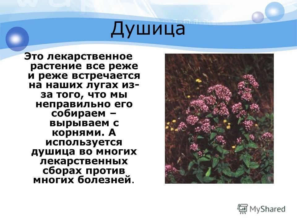 Душица Это лекарственное растение все реже и реже встречается на наших лугах из- за того, что мы неправильно его собираем – вырываем с корнями. А используется душица во многих лекарственных сборах против многих болезней.
