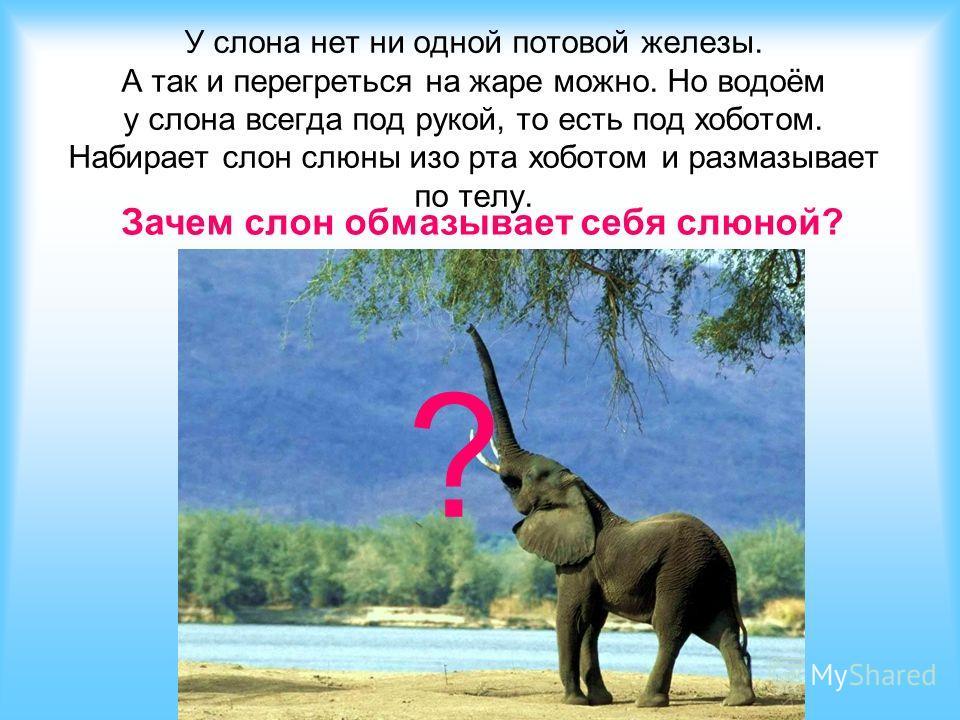 У слона нет ни одной потовой железы. А так и перегреться на жаре можно. Но водоём у слона всегда под рукой, то есть под хоботом. Набирает слон слюны изо рта хоботом и размазывает по телу. ? Зачем слон обмазывает себя слюной?