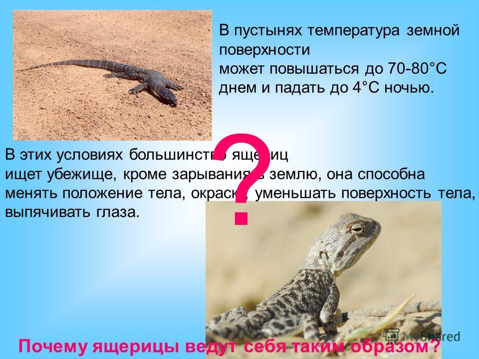 В пустынях температура земной поверхности может повышаться до 70-80°С днем и падать до 4°С ночью. В этих условиях большинство ящериц ищет убежище, кроме зарывания в землю, она способна менять положение тела, окраску, уменьшать поверхность тела, выпяч