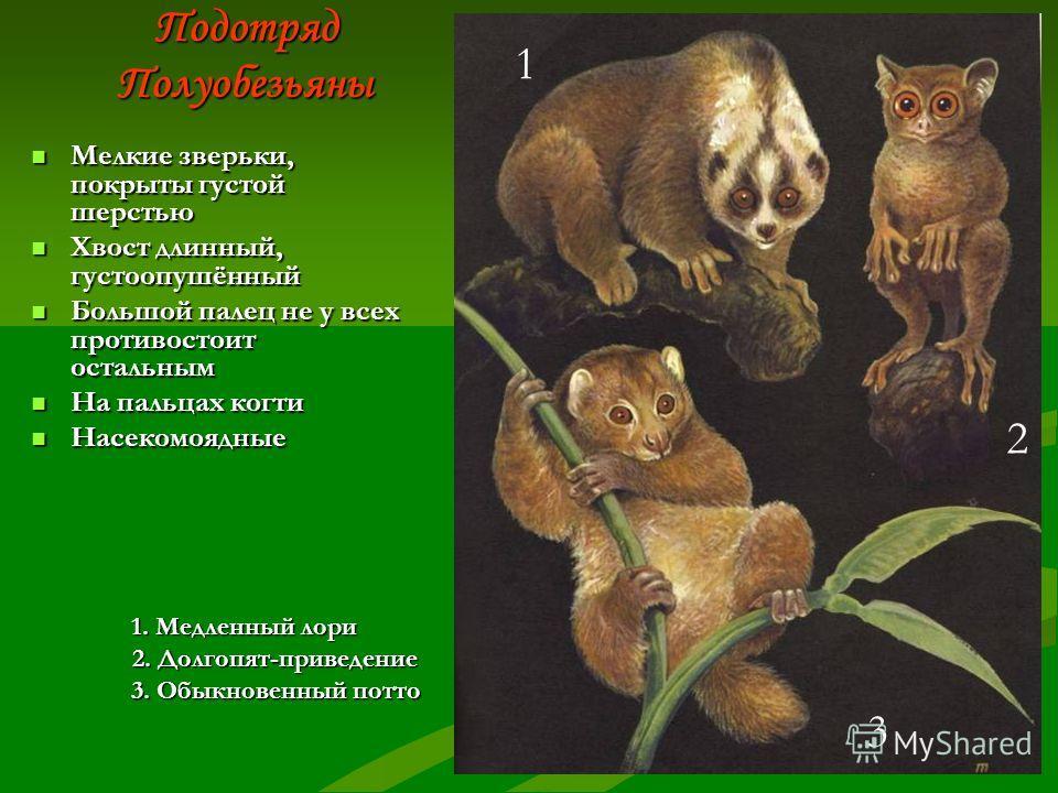 Общая характеристика отряда Древесные или наземные животные, распространены в тропиках Древесные или наземные животные, распространены в тропиках Средние или небольшие по величине(самые маленькие 9-12 см. – долгопяты, самые большие -2 м. –горилла) Ср