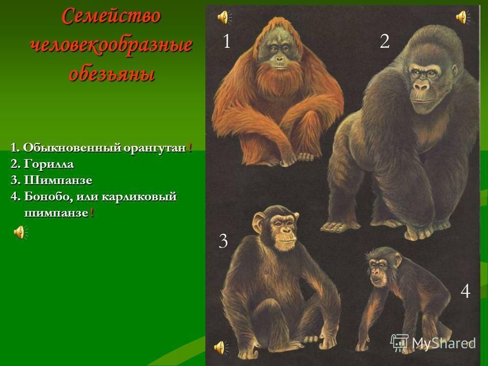 Семейство узконосые обезьяны 1 2 3 4 1. Мандрил 2. Мартышка диана 3. Гелада 4. Гиббон