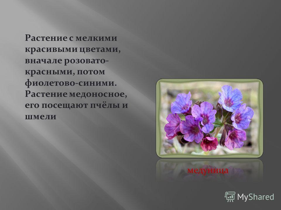 Растение с мелкими красивыми цветами, вначале розовато- красными, потом фиолетово-синими. Растение медоносное, его посещают пчёлы и шмели медуница