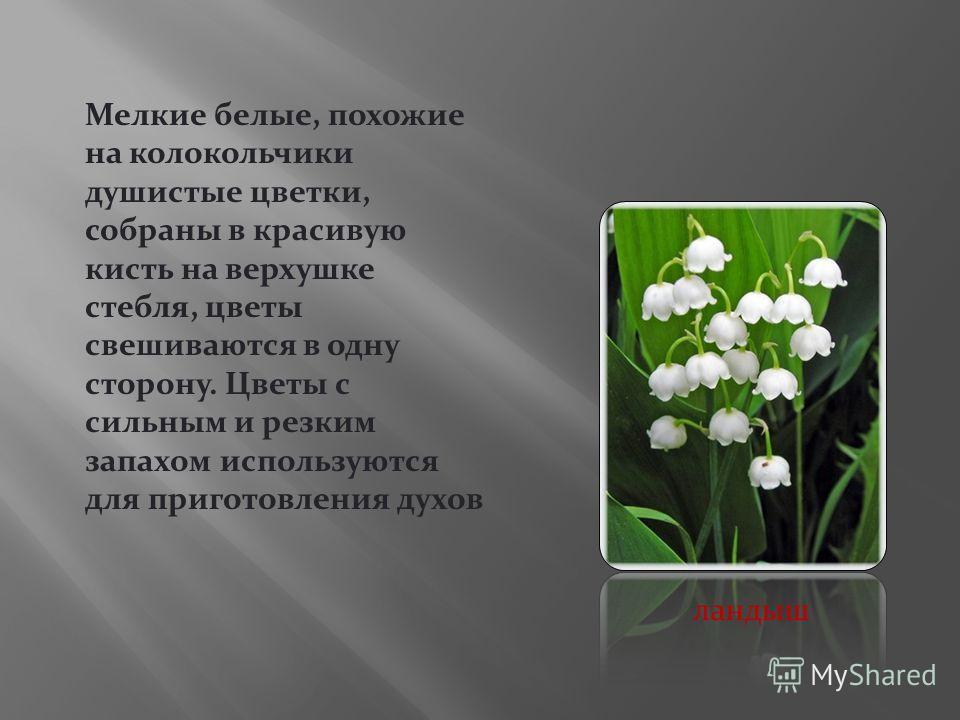 Мелкие белые, похожие на колокольчики душистые цветки, собраны в красивую кисть на верхушке стебля, цветы свешиваются в одну сторону. Цветы с сильным и резким запахом используются для приготовления духов ландыш