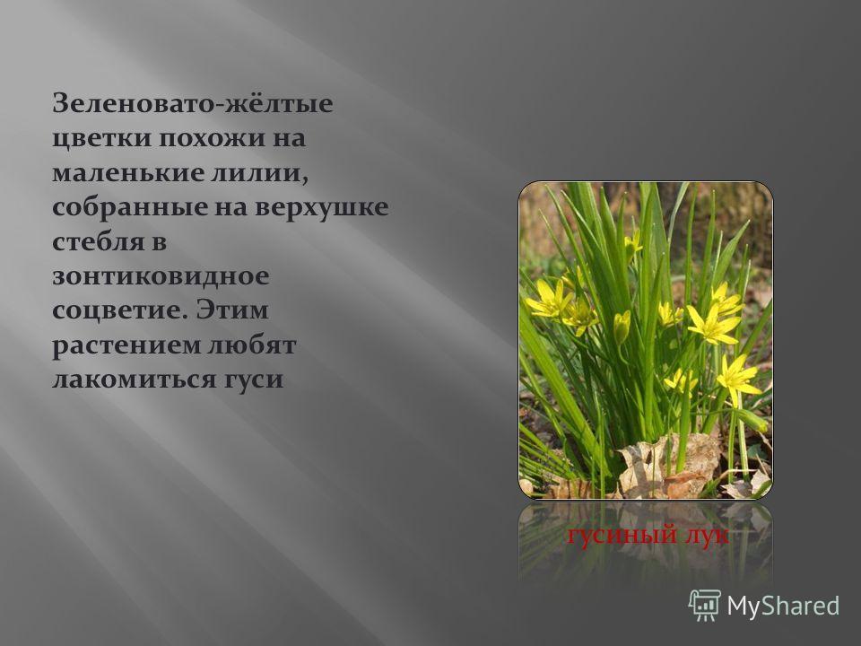 Зеленовато-жёлтые цветки похожи на маленькие лилии, собранные на верхушке стебля в зонтиковидное соцветие. Этим растением любят лакомиться гуси гусиный лук